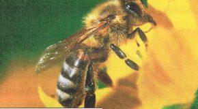 Pesticides tueurs d'abeilles